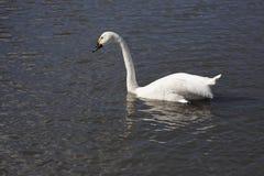 Bewick's Swan Royalty Free Stock Image