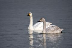 Free Bewick`s Swans - Cygnus Columbianus Bewickii Resting On A Gloucestershire Wetland. Royalty Free Stock Images - 139543309