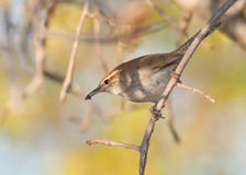 Bewick's Wren carrying an insect Royalty Free Stock Images