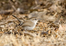 Bewick's Wren Foraging Royalty Free Stock Images