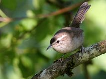 Bewick's Wren in the Light Stock Image