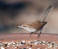 Bewick's Wren perched on a feeding station Royalty Free Stock Photo