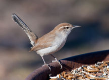 Bewick's Wren perched on a feeding station Royalty Free Stock Photos