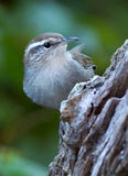 Bewick's Wren - Thryomanes bewickii Royalty Free Stock Photo