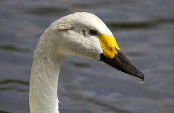 Bewick Swan Stock Photography