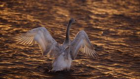 Bewick Swan Stretching at Sunset Royalty Free Stock Photography