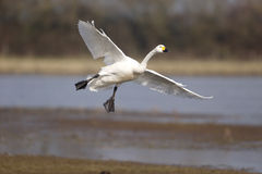 Bewicks swan, Cygnus bewickii Royalty Free Stock Photography