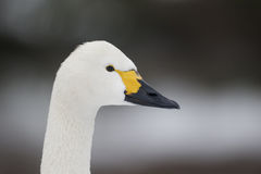 Bewicks swan, Cygnus bewickii Royalty Free Stock Image