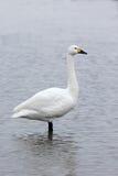 Bewicks swan, Cygnus bewickii Royalty Free Stock Photos