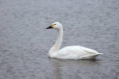 Bewicks swan, Cygnus bewickii Stock Photo