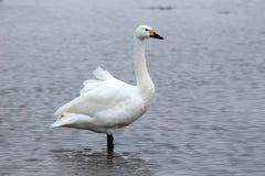 Bewicks swan, Cygnus bewickii Royalty Free Stock Photo