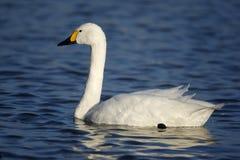 Bewicks swan, Cygnus bewickii, Royalty Free Stock Image