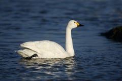 Bewicks swan, Cygnus bewickii, Royalty Free Stock Photography
