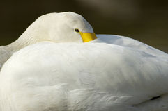 Bewicks of Tundra Swan - Cygnus bewickii Stock Image