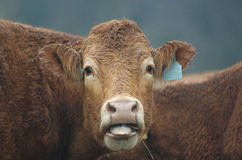 bewildered bovine Стоковая Фотография RF