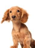 Bewildered puppy. Dachshund puppy with a bewildered expression Stock Photos