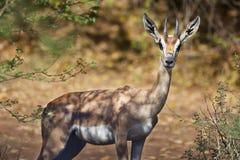 Bewilligungs-Gazelle in Bogoria, Kenia Stockfotos