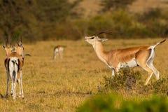 Bewilligungs-Gazelle, Flehmen-Antwort Lizenzfreie Stockbilder