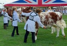 Bewirtschaften Sie die Kühe, die für das Beurteilen an der Landwirtschaftsausstellung Großbritannien vorbereitet werden Stockfotos