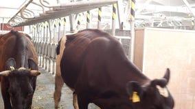 Bewirtschaften Sie für Kühe und Milch, Produktion von Milch auf einem Bauernhof, Kühe und Milch, kine melken stock video