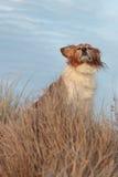 Bewirtschaften Sie Schäferhund auf einer grasartigen Sanddünebahn Stockfotografie