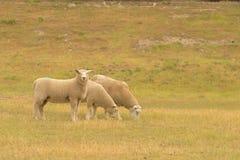 Bewirtschaften Sie Schafe auf grünem Glas auf hohem Hügel Lizenzfreie Stockfotos