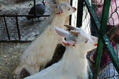 Bewirtschaften Sie und weiße Ziegen mit grünem Gras einziehen stockbilder
