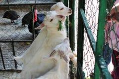 Bewirtschaften Sie und weiße Ziegen mit grünem Gras einziehen lizenzfreie stockfotos