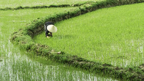 Bewirtschaftender Reis, Vietnam Stockbilder