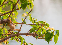 Bewohner der Chamäleontarnung, zum in der Natur zu überleben Stockfotos