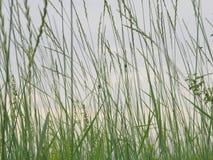 Bewolkte avondhemel door jonge groene dunne grassprietjes, waarop verschillende insecten zit stock foto's