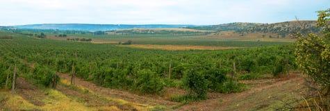 Bewolkte de zomerochtend van het wijngaardpanorama in de Krim Stock Foto's
