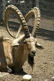 Íbex no parque da reserva Imagens de Stock Royalty Free