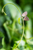 Beyond The Bass Clef. An Image Shows Two Butterflies in Love Royalty Free Stock Photo