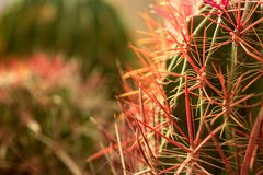 Beyond the mountain of thorns, Cactus. Close-up on the cactus thorns, with some more cactus in the backdrop, giving the impression of a mountain range royalty free stock photo