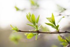Bez gałąź z świeżymi zielonymi liśćmi wiosny ogrodowa scena i nowy życia pojęcie tła pastelu miękka część Makro- widok Obraz Royalty Free