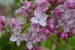 Bez gałąź z purpurowymi kwiatami obraz stock