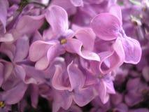 bez kwiatów wiosna kwiat Piękny tło Obrazy Stock