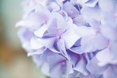 Bez kwitnie hortensia Zdjęcia Stock