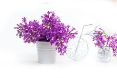 Bez kwitnie na białym tle dekorującym z małym rowerem Fotografia Stock