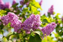 Bez kwitnie na drzewie w wiośnie Zdjęcia Royalty Free