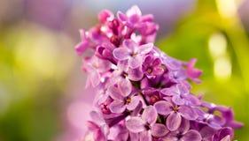 Bez kwitnie na drzewie w wiośnie Fotografia Stock