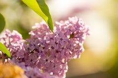 Bez kwitnie na drzewie w wiośnie Zdjęcie Stock