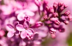 Bez kwitnie na drzewie w wiośnie Obraz Stock