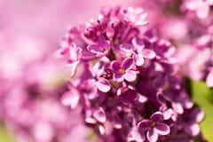 Bez kwitnie na drzewie w wiośnie Fotografia Royalty Free