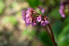 Bez kwitnie, Syringa vulgaris, w ostrzegaj?cego popo?udnia ?wietle w wiosna ogr?dzie, zamazuj?cy t?o zdjęcie royalty free