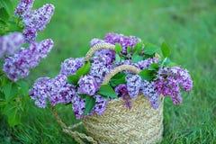 Bez kwitnie w kobiet rękach Lily kwiecenie Lilego Bush kwiat Bez kwitnie w ogródzie miękkie ogniska, Obrazy Royalty Free