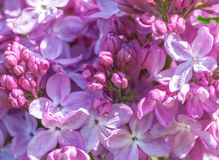 Bez kwitnie zakończenie bez zielonych liści Fotografia Stock
