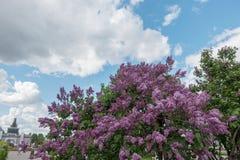 Bez na tle niebieskie nieba Obrazy Stock