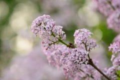 Bez purpur ogrodowy ogród Zdjęcia Stock